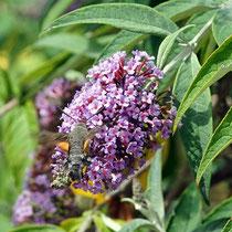 Taubenschwänzchen auf Blüte des Schmetterlingsflieders, Bereich D Rheinaue, Aufnahme-Datum: 22.07.2019