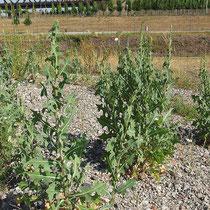Lactuca serriola, Kompaßlattich, Bereich D Rheinaue,  Aufnahme-Datum: n.b.