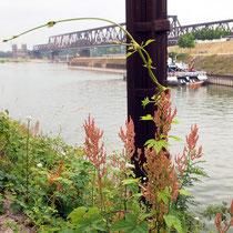 Rumex thyrsiflorus, Rispen-Sauerampfer, Bereich A Hafen,  Aufnahme-Datum: 21.06.2015