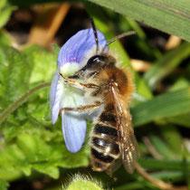 Wildbiene an Blatt des Ehrenpreises Nektar saugend, Bereich A Hafen, Foto Günter Abels, Aufnahme-Datum: 23.03.2019
