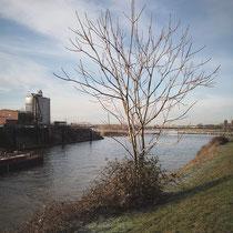Ailanthus altissima, Götterbaum in der Hafenmauer eingewurzelt. Bereich A, Hafenmauer, Aufnahme-Datum: 19.01.2019