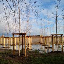 Flächenhafte Vernässung im neu gepflanzten Birkenhain,  Aufnahme-Datum: 28.12.2020