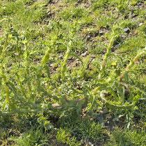 Sonchus asper, Rauhe Gänsedistel, Bereich D Rheinaue,   Aufnahme-Datum: 13.07.2008
