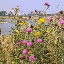 Carduus acanthoides, Carduus nutans, Senecio jacobea,  Bereich  A Hafen,  Aufnahme-Datum: n.b.