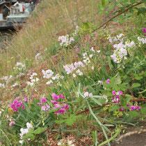 Rubus fruticosus, Lathyrus latifolius, Sedum album, Bereich A Hafenmauer,   Aufnahme-Datum: 19.06.2010