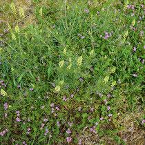 Resedea luteaa, Erodium cicutarium, Bereich A Hafen, Aufnahme-Datum: 28.04.2019