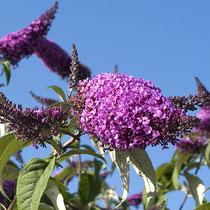 Buddleja davidii, Schmetterlingsflieder, Blütenstand, Bereich A Hafen, Aufnahme-Datum: 13.07.2008