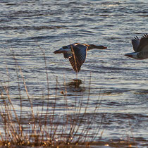 Gänse im abendlichen Formationsflug über den Rhein, Aufnahme-Datum 16.02.2019, m. frdl. Genehmigung von Ralf Forsten