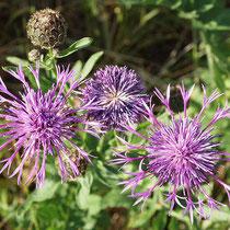 Centaurea scabiosa, Scabiosen-Flockenblume, Bereich A Hafen, Aufnahme-Datum: 21.06.2015