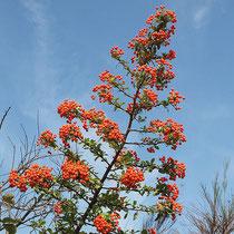 Pyracantha  coccinea, `Red Column`, Feuerdorn,  Bereich B Gelände, Aufnahme-Datum: n.b.