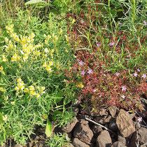 Linaria vulgaris, Geranium robertianum  Bereich B Gelände,  Aufnahme-Datum: n.b.