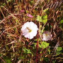 Schwebfliege auf Blüte der Ackerwinde, Bereich B Gelände, Aufnahme-Datum: 16.06.2019