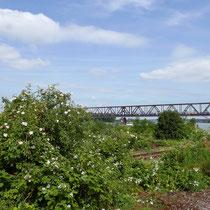 Habitat oberhalb es Südhafen, Bewuchs und teilweise Gleisschotterfächen,  Aufnahme-Datum: 01.06.2019