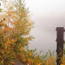 Betula pendula, Sandbirke im Herbstaspekt, Bereich A Hafenmauer, Aufnahme-Datum: Oktober 2006