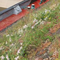 Rubus fruticosus, Lathyrus latifolius, Sedum album, Isatis tinctoria, Bereich A  Hafenmauer,  Aufnahme-Datum: 19.06.2010