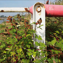 Rubus fruticosus, Brombeere, Bereich A Hafen, Aufnahme-Datum: n.b.
