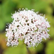 Valeriana officinalis , Arznei-Baldrian, Bereich A Hafen,   Aufnahme-Datum: 21.06.2015