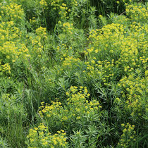 Euphorbia esula, Eselswolfsmilch, Flächenhafter Bestand im Bereich C (Rheinaue) Foto mit frdl. Genehmigung von Willi Wievels