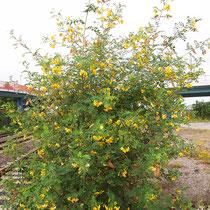 Caragana arborescens, Gewöhnlicher Erbsenstrauch, Blütenstände, Bereich B Gelände, Aufnahme-Datum: 21.06.2015
