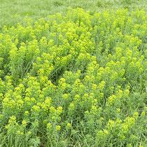 Euphorbia esula, Eselswolfsmilch, Flächenhafter Bestand im Bereich C (Rheinaue)