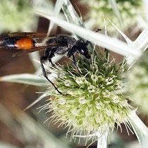 Heuschreckensandwespe (Spex funerarius) auf Blüte von Feldmannstreu, Bereich D Rheinaue, Aufnahme-Datum: 26.07.2019