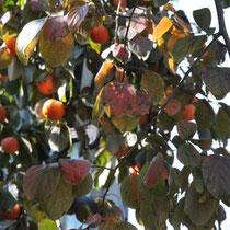 Khaki-Früchte im Beverly Garden (ein untrügliches Zeichen, dass der Winter bald kommt!)