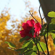 Letzte Blüten vor dem Winter