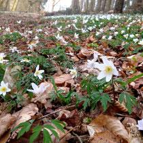 Der Waldboden wird von einem Blütenteppich (Buschwindröschen) bedeckt