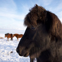 Die Islandpferde, sie sind sehr robust und halten eine Kälte bis über -20 Grad aus