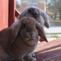 Kaninchen in trauter Zweisamkeit - Foto: pixabay.com