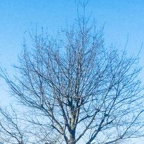 Baumpflege, hier Kronenpflege an einer Eiche, vorher