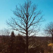 Baumpflege|Kronenpflege, nachher