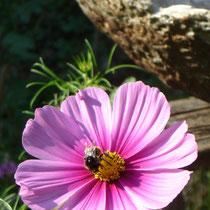 Aufgrund der hohen Vielfalt an ökologischen Nischen gibt es neben den Honigbienen auch zahlreiche Wildbienen, Hummeln und Grabwespen