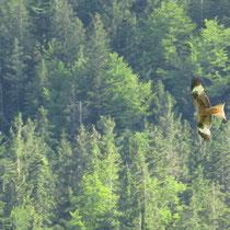 Rotmilan in Weißensee
