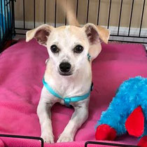 Jolie, available for adoption through Halfway Home Rescue!
