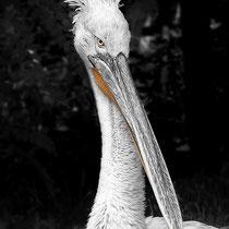 Pelikan, Im ZOO Amneville in Frankreich