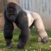 Gorilla, aufgenommen im Heidelberger ZOO