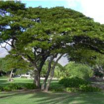Monkey pod albero