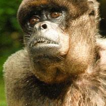 scimmia,scimpanzè