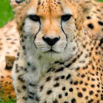 ghepardo,leopardo