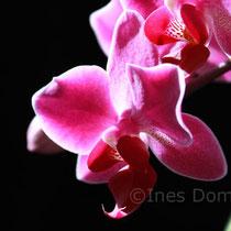 Orchidee im Gegenlicht - Fotografie Ines Dombek