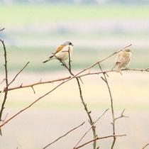 Neuntöter Alt- und Jungvogel (Foto: Petra Koob)