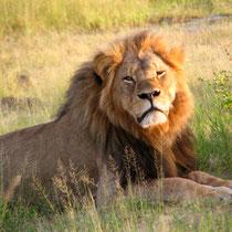 Ein Grossildjäger tötete den Löwen Cecil.