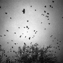 Flying crows. | Fuji GA645Wi Professional | Ilford Delta 400 Professional