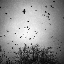 Flying crows. | Fuji GA645Wi Professional | Ilford Delta 400 Professional