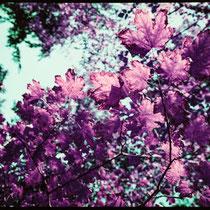When autumn leaves start to fall. | Fujifilm GA645Wi | Lomochrome XR Purple 100-400