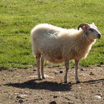 un mouton islandais