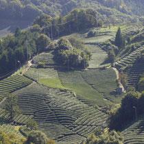 撰原(松尾)の茶畑