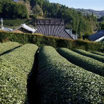 茶畑と隣り合わせに暮らす茶農家の集落(原山)