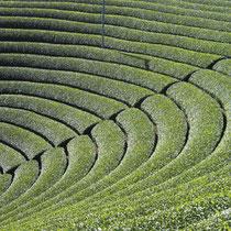 原山(養治)の茶畑